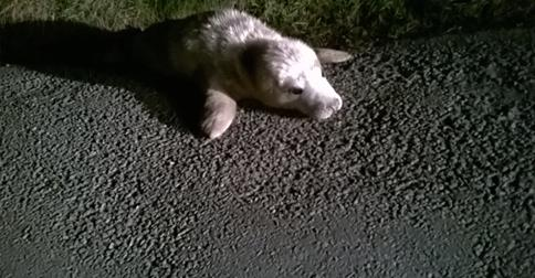 Jelly the Seal pup exploring Pembrokeshire. CREDIT: RSPCA