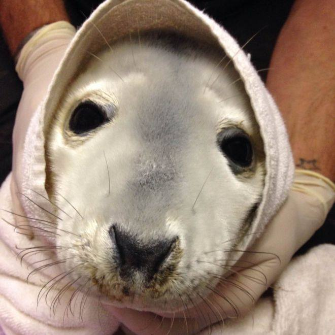 Welsh marine Life Rescue seal pup