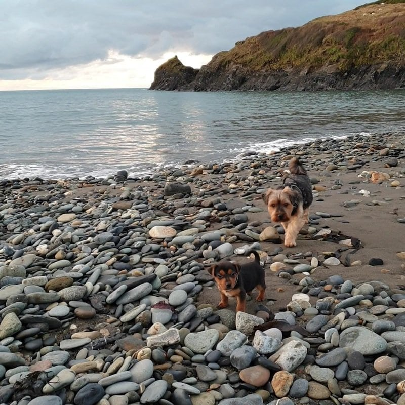 Jack Russell Terrier puppy and yorkshire terrier exploring Abereiddy beach.