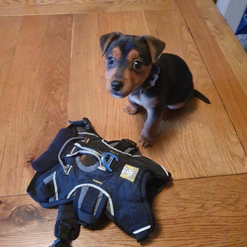 Miniature jack russell terrier xxs ruffwear webmaster harness