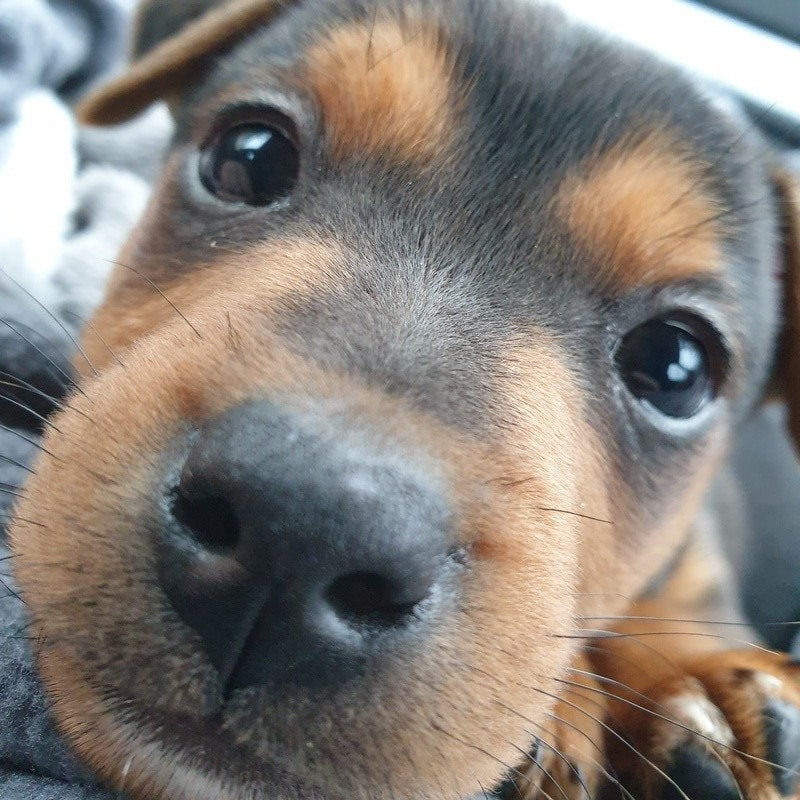 Up the nose photo of miniature black tan jack russell puppy